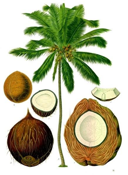 Cocus Nucifera Extract